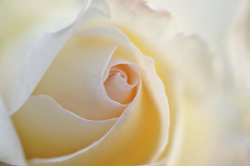 河南さんの白いバラ