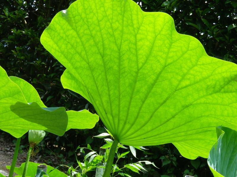 大賀蓮の葉の裏