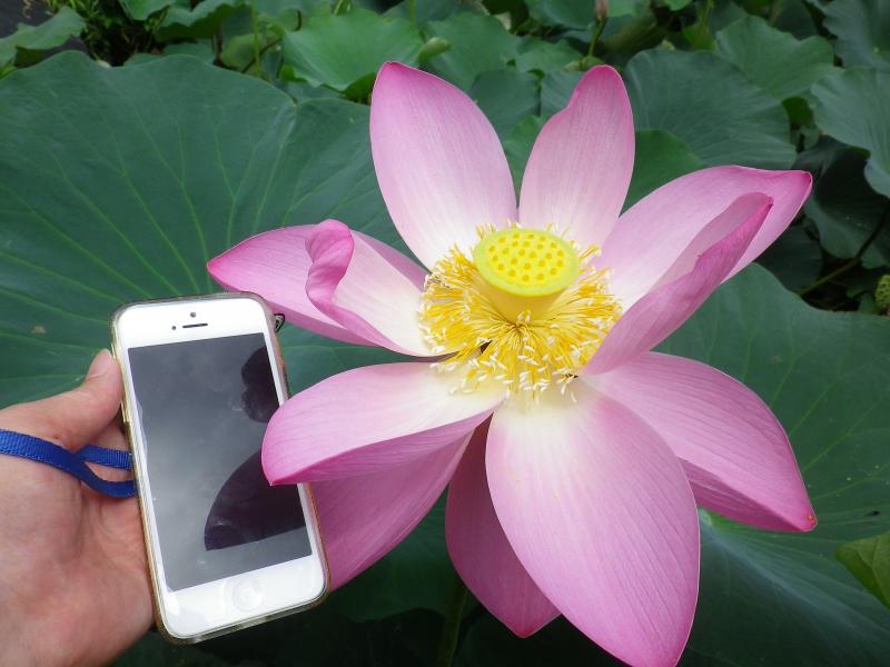 iphone5と蓮
