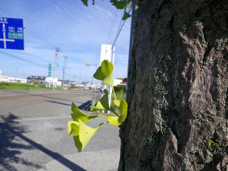 イチョウの幹から葉